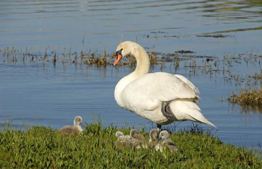 The Haven Waterway river bank is home to swans and seabirds often spotted down on the foreshore
