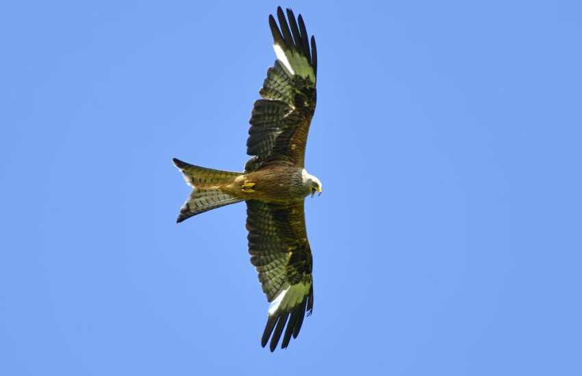 The beautiful Carmarthenshire countryside is teeming with wildlife including the magnificent red kite