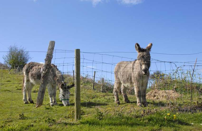 Tom and Cutie the donkeys – ginger nut biscuits are their favourite!