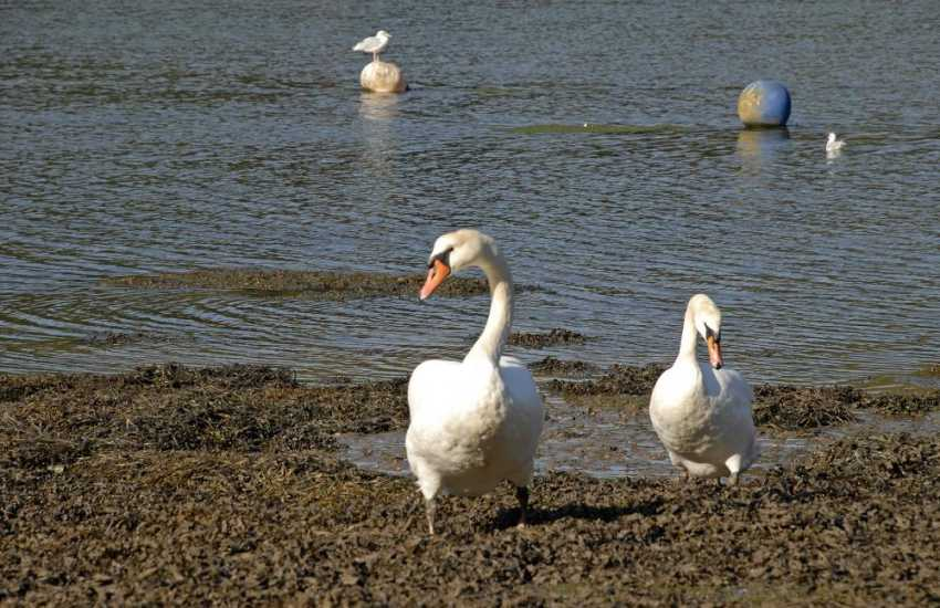 Swans and other sea birds may often be spotted down on the shores of the riverbanks nearby