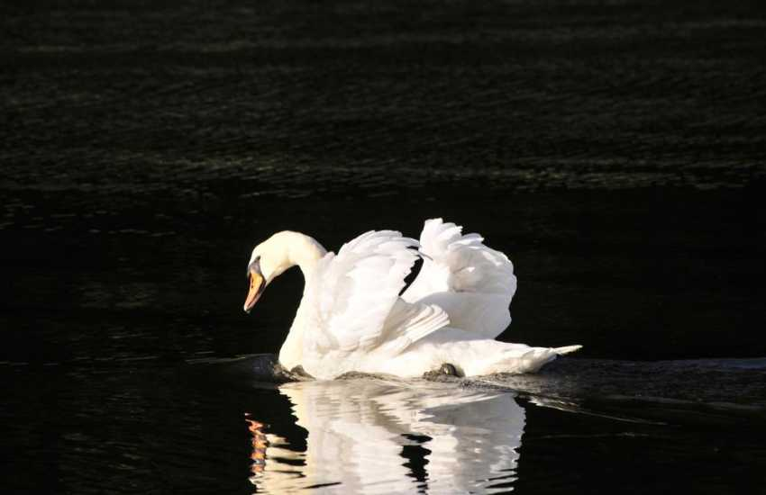 Watch for beautiful swans on the Lilly Ponds throughout the year