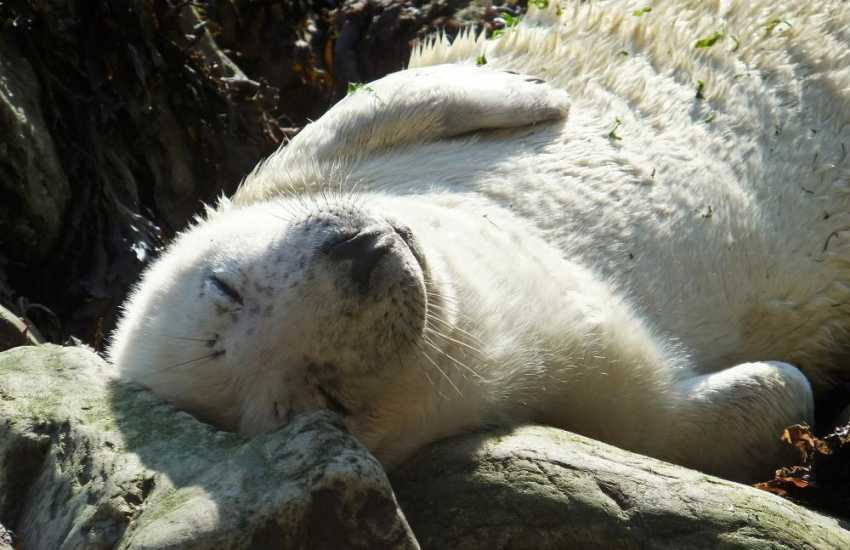 Explore the Pembrokeshire coast for seal pups during the autumn breeding season
