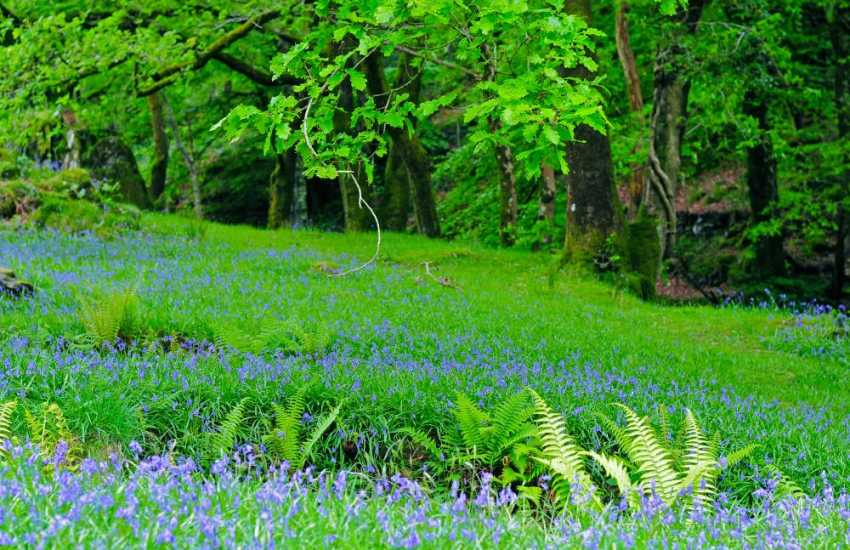 Beddgelert is surrounded by fields and woodlands full of Bluebells