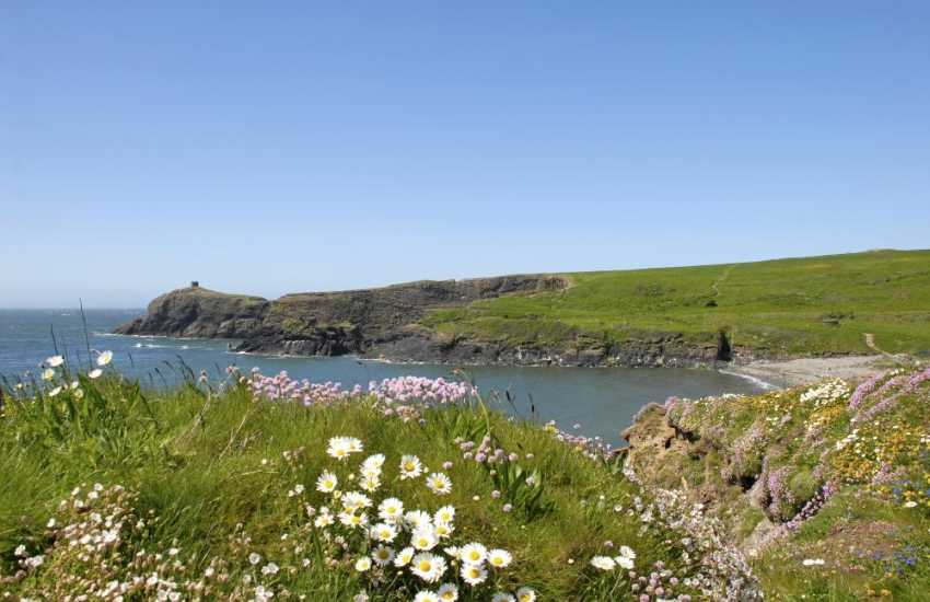 The Pembrokeshire Coast Path at Abereiddy - stunning cliff top scenery, flora and fauna throughout the year