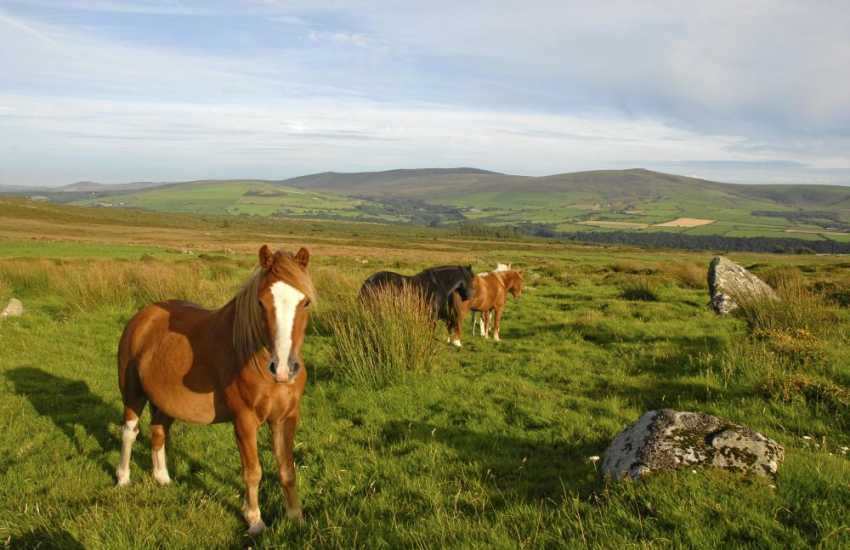 The Gwaun Valley runs through the Preseli Hills where wild ponies may be spotted amongst the heather