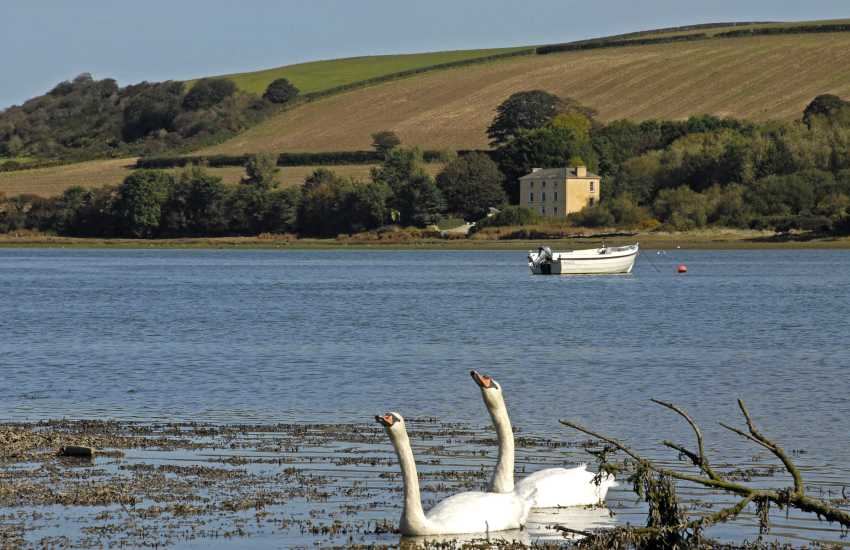The River Teifi at St Dogmaels is home to Mute Swans - watch them feeding along the shores