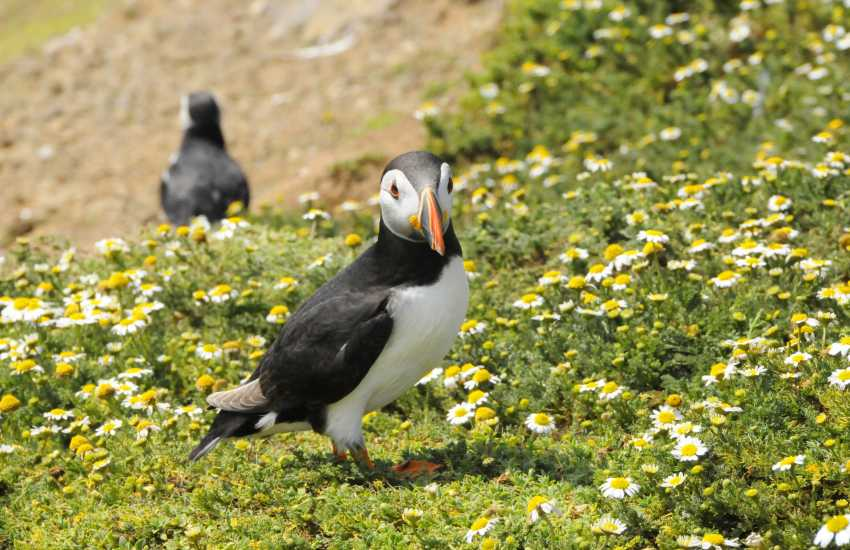 Pembrokeshire's unspoilt coast, waterways and countryside attract vast colonies of sea birds - otters, seals and puffins to name a few