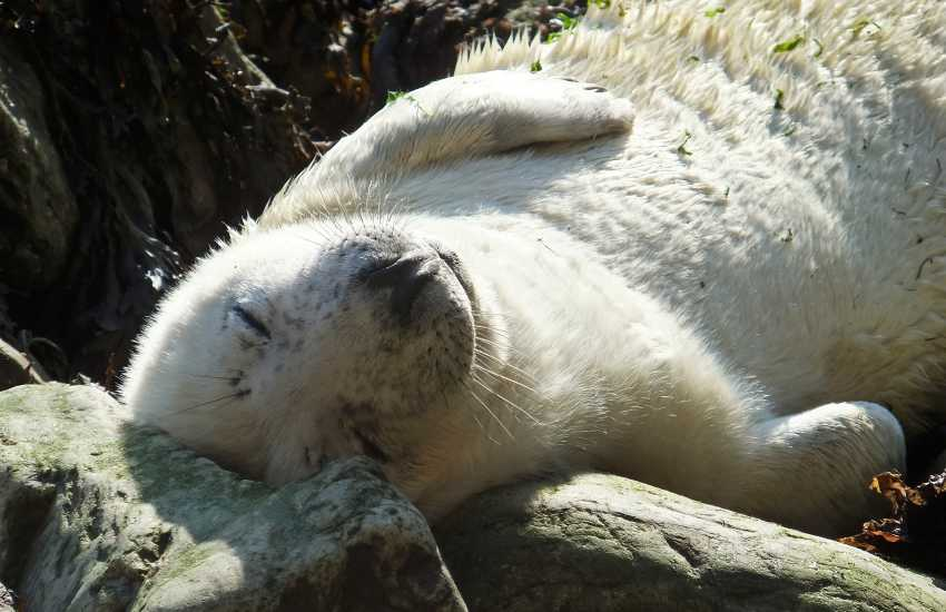 The Pembrokeshire coast line is a great location to spot grey seal pups amongst the rocks