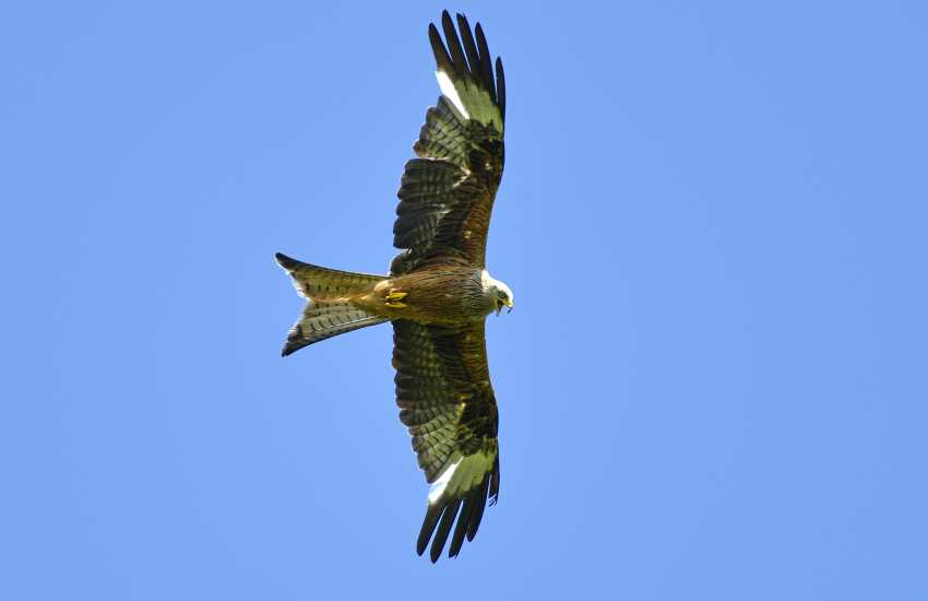 Red Kite Feeding is a sight to behold as 50 birds or more may be seen in the skies at feeding times
