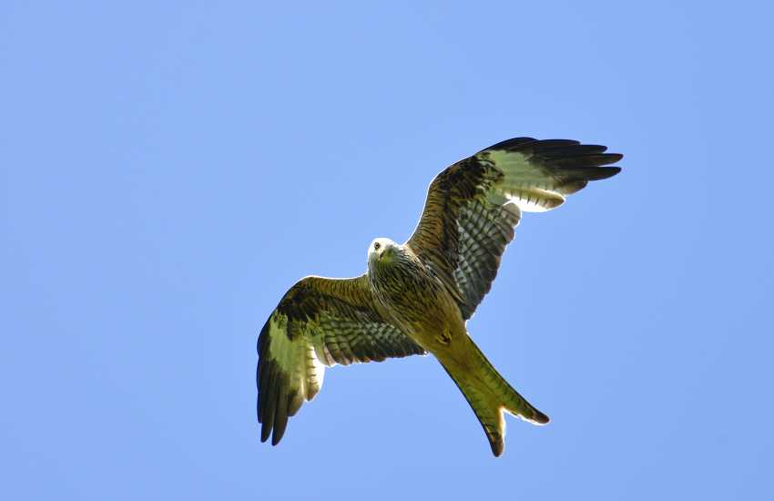 Red Kite Feeding Station specially built hide, feet away from these majestic birds