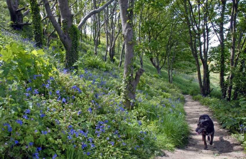 Enjoy a walk through National Trust woodland, carpeted with bluebells in the spring, to the pebbled beach of Abermawr