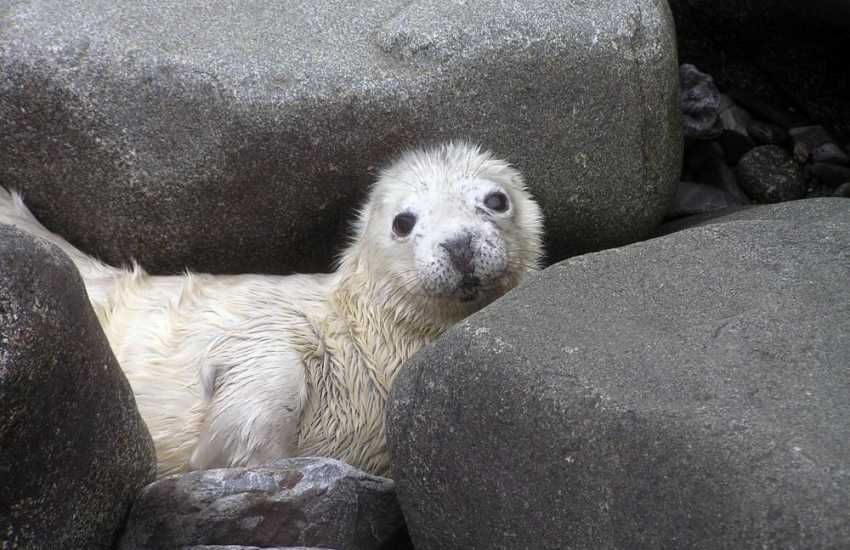 The North Pembrokeshire coast is a great place for spotting grey seal pups hidden among the rocks