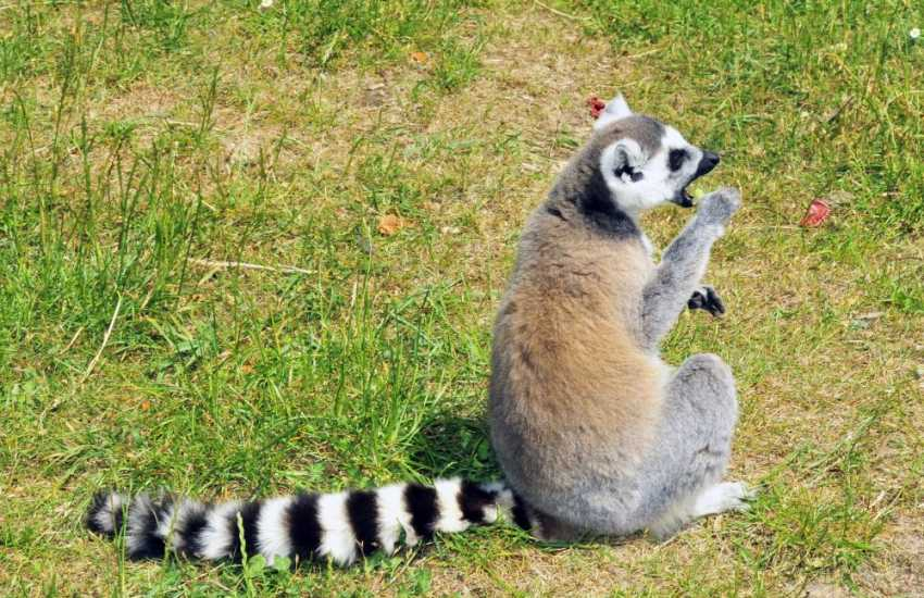 A Lemur enjoying the sunshine at Manor House Zoo near Tenby - a great day out for all the family
