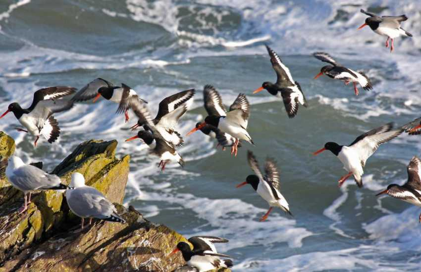 Oystercatcher's during early summer around the cliffs of Ramsey Island (RSPB). Take a boat trip around the Ramsey Sound waters and to the Island itself - a memorable holiday experience