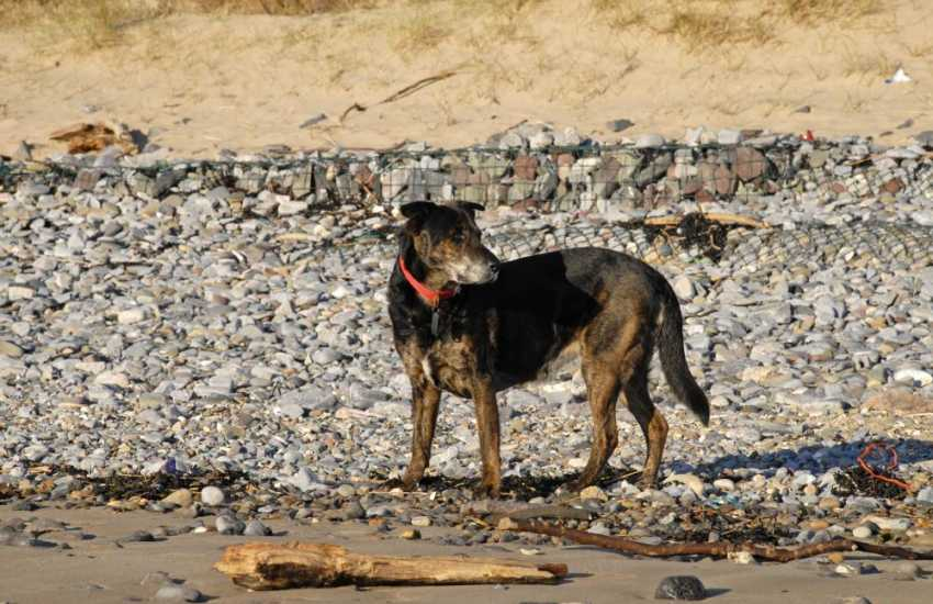 'Lucky' on nearby Abermawr Beach - many of our properties welcome your dog