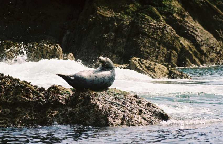 Atlantic grey seals in their dappled coats can be spotted lounging on the rocks along the Coast