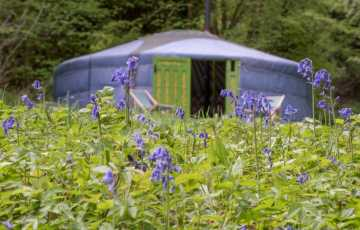 A bluebell copse right outside a blue yurt. What a perfect colour combo