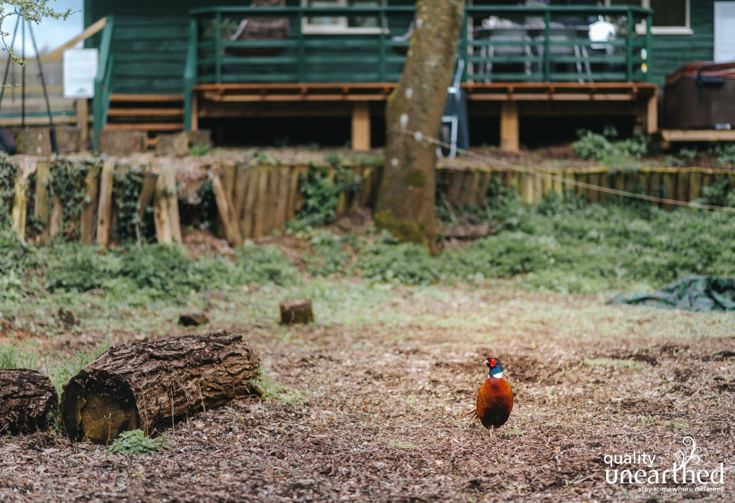 A pheasant pops and says hello at the fire pit that belongs to the wooden family cabin