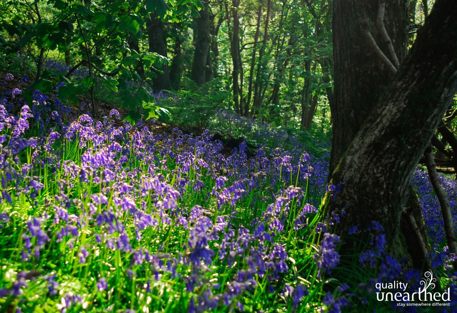 Bluebells beckon visitors to explore the Mid Wales woodlands, all easy to get to from the family cabin