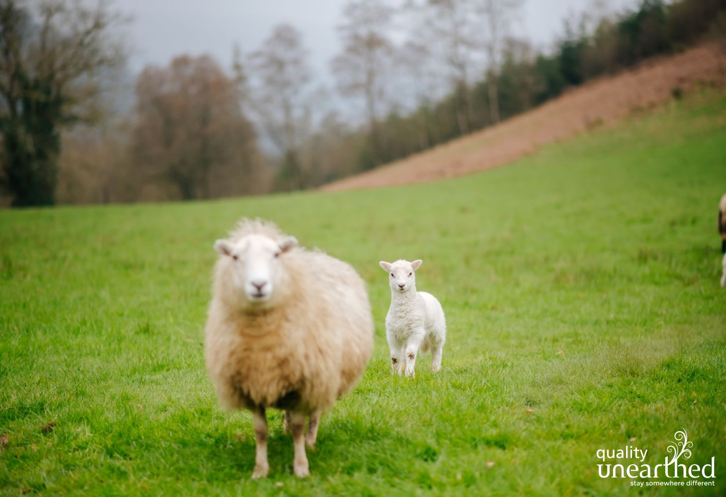 Llandovery Sheep 1 080419