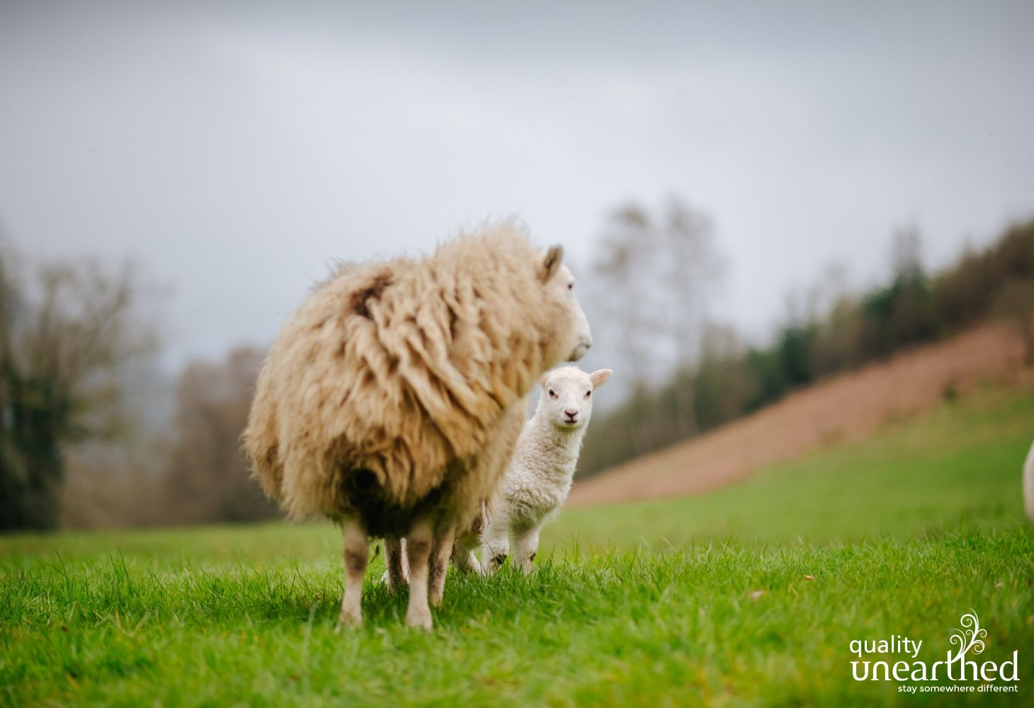 Llandovery Sheep 2 080419