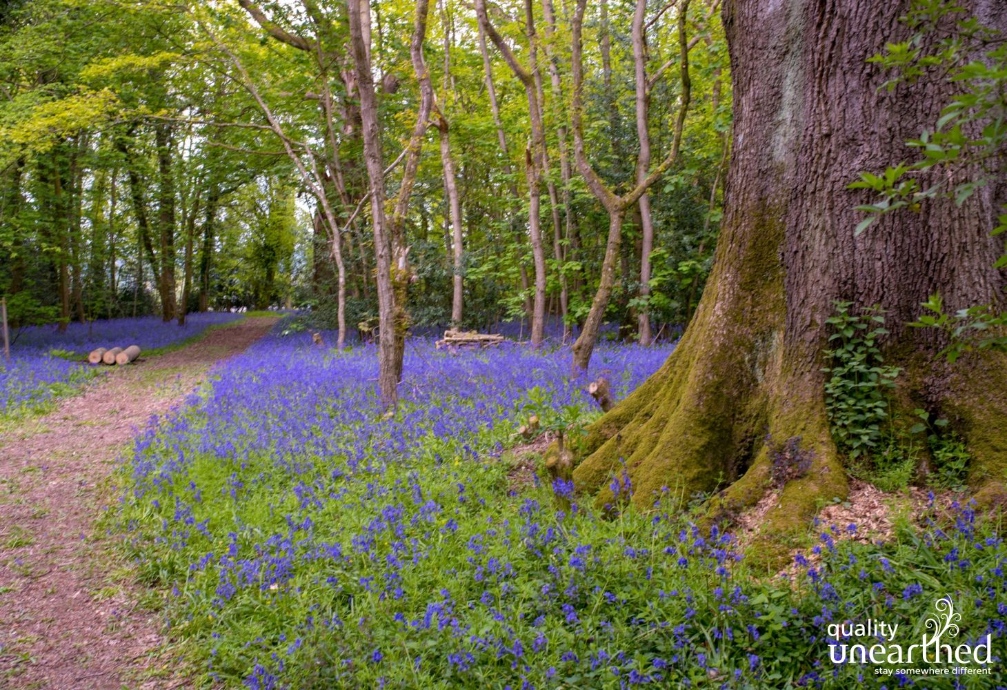 Bluebell woods by this Mid Wales glamping yurt