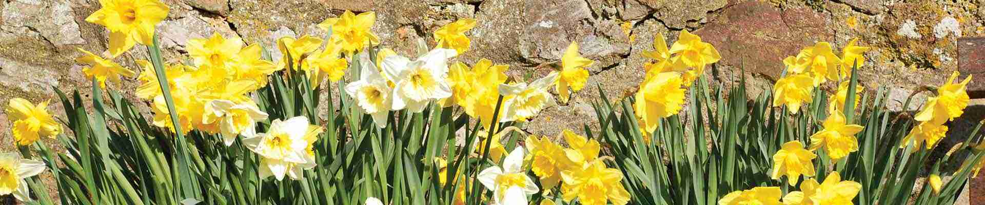 St Davids Day is a day National of celebration in Wales