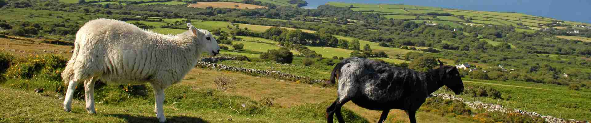 Llandovery Sheep Festival in September celebrates droving, sheep farming and the wool industry with