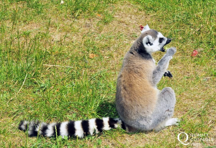 Lemur enjoying the sunshine at Manor House Zoo near Tenby