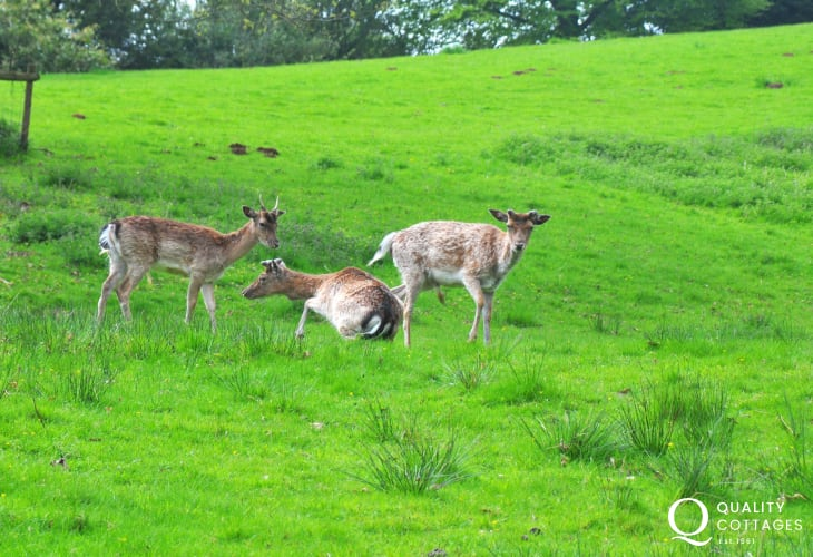Deer in the grounds of Powis Castle