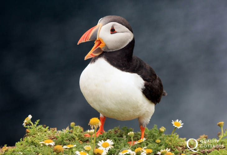 Watch out for puffins on the off shore islands during early summer