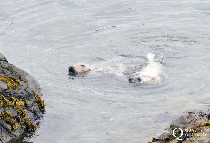 Young seal pups feeding just off the rocks on Bardsey