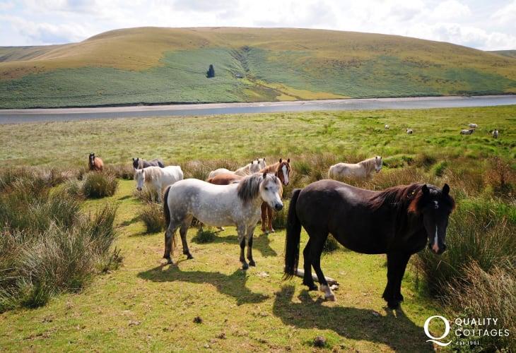 Horses beside the road between Elan Valley and Devil's Bridge