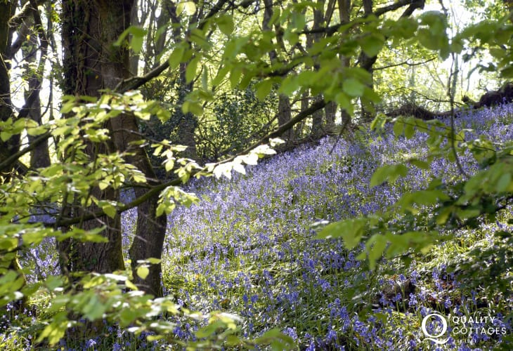 Bluebells in early summer are a wonderful sight in the woodlands of Pembrokeshire Coast National Park