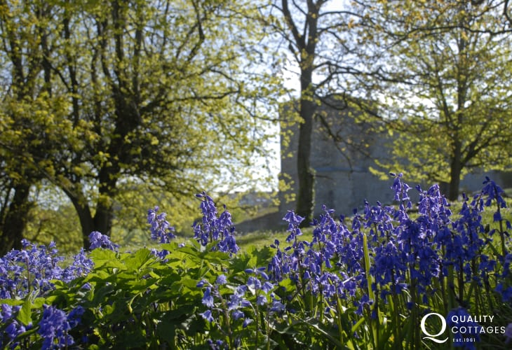Bluebells during late spring in the grounds of St Davids Cathedral