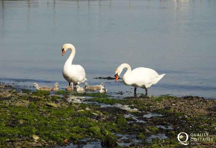 Swans breed in early summer down on the nearby foreshore and are quite a common sight