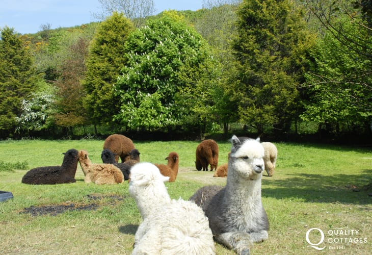 Middle Mill is home to alpacas which can be spotted enjoying the sunshine