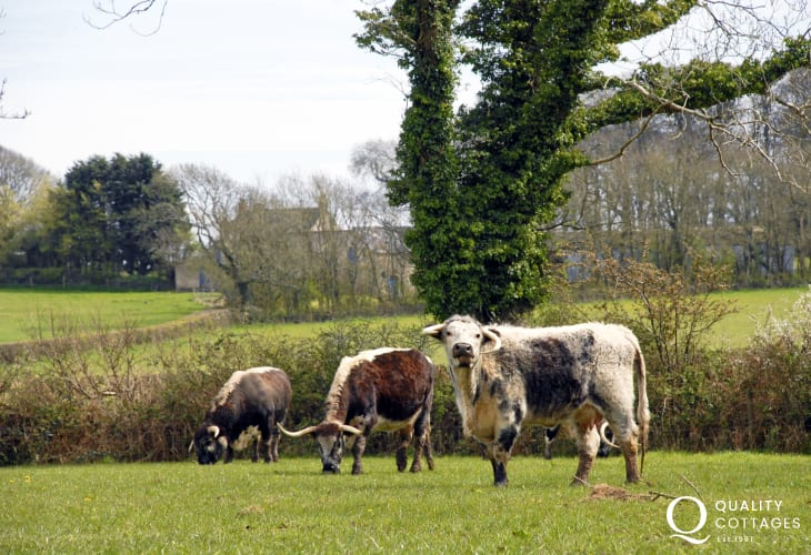 Magnificent Longhorn cattle grazing in the fields nearby