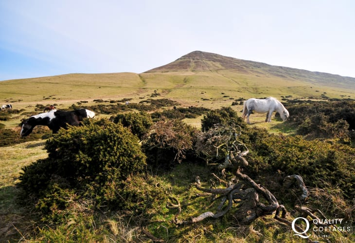 Wild horses on Hay Bluff in the Black Mountains, just minutes from the house