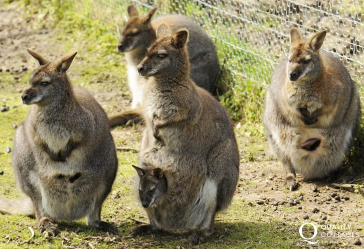 Spend a day in Tenby seaside resort or get up close and personal with the Wallabies at Anna Ryder Richardson's Wild Welsh Zoo