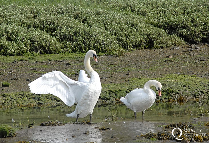 Swans are just one of the many varieties of birds to be seen on the banks of The Secret Waterway