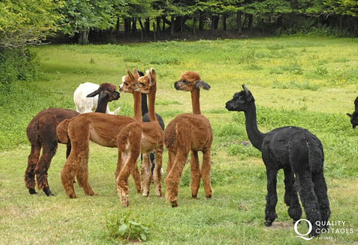 Alpacas enjoying the grass and sunshine in the Solva valley