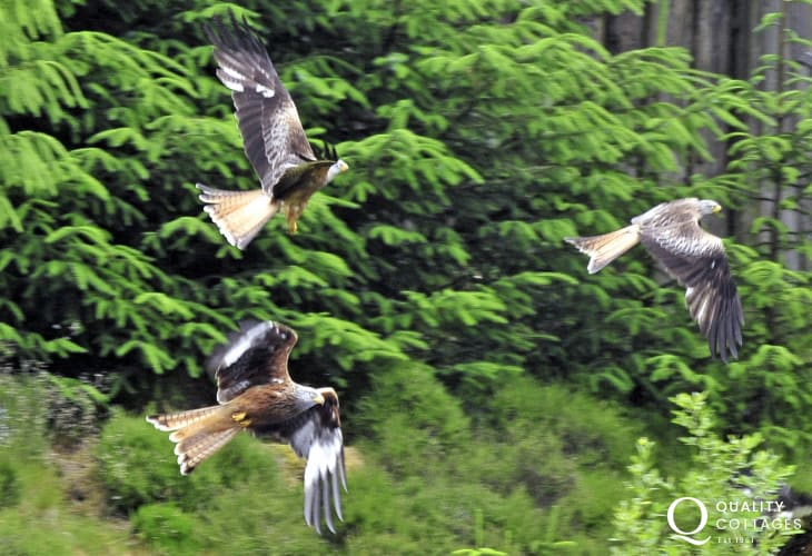 Magnificent Red Kites are fed daily at Bwlch Nant yr Arian Visitor Centre at 2pm in winter and 3pm in summer all year round. You can expect to see as many as 100 Kites in summer and more in winter months.