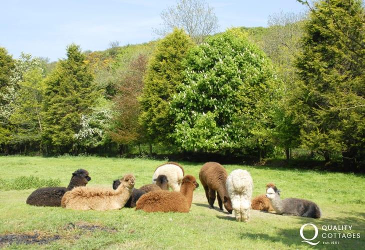 Alpacas enjoying the summer sun