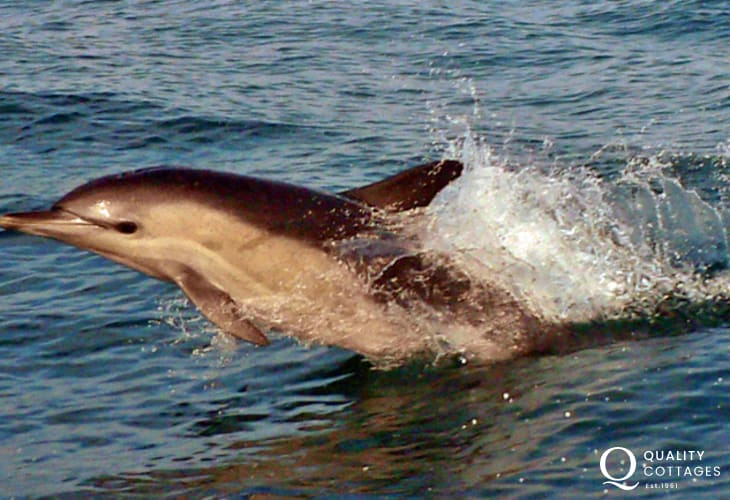 Cardiganshire Heritage Coastline has regular visits from the Bottlenose dolphin