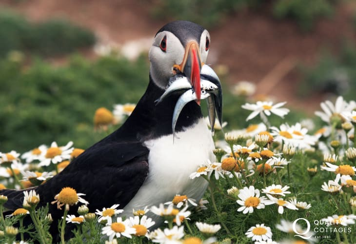 Spot Atlantic Grey Seals, porpoises, dolphins and a wide variety of seabirds, including puffins, along the coast