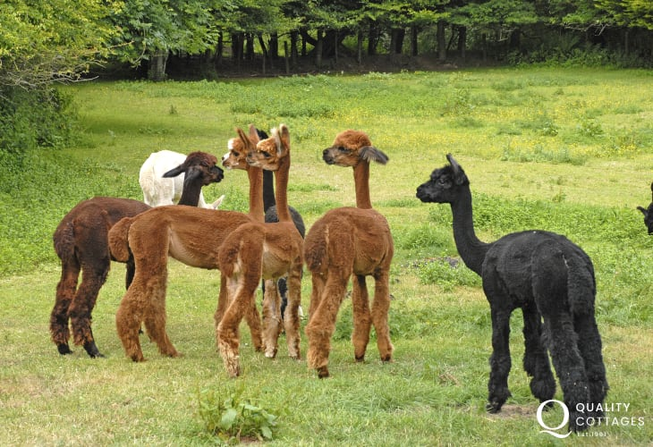 Pembrokeshire Alpacas may often be seen in the Solva valley