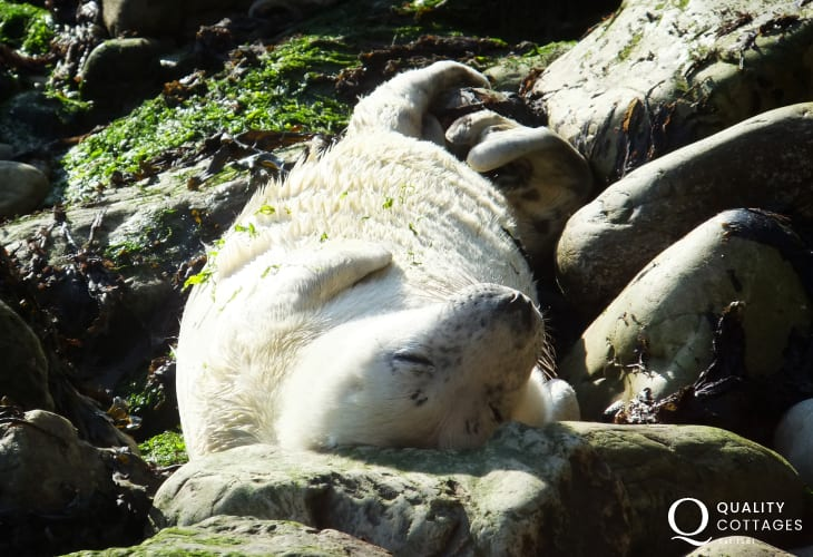Grey seals breed along the Pembrokeshire coast during autumn