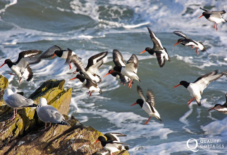 Oystercatchers are just one of the many seabirds to be spotted along this part of the Pembrokeshire coast
