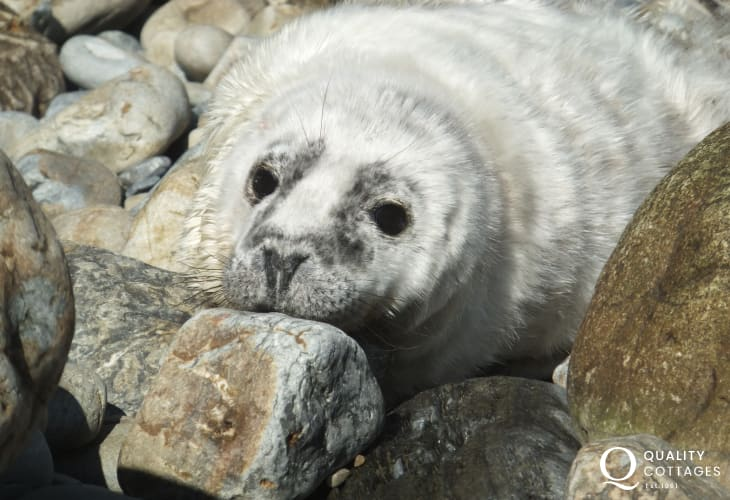 The Pembrokeshire coast is a great location to spot grey seal pups amongst the rocks